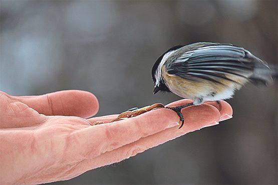 Chickadee bird
