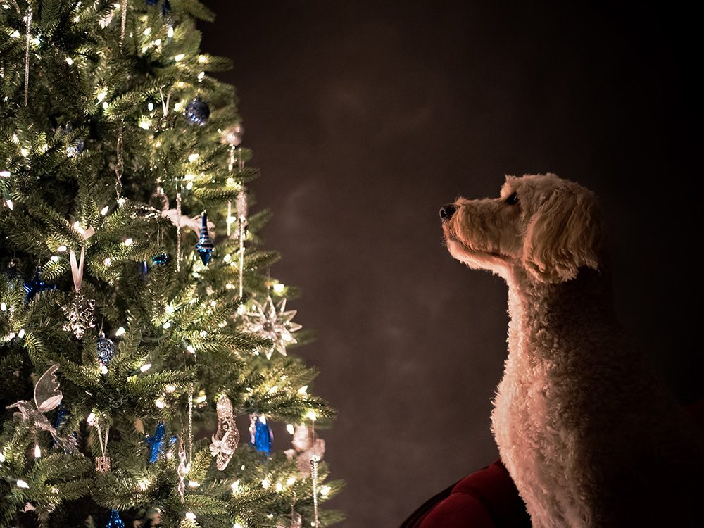 Dog looking at Christmas tree