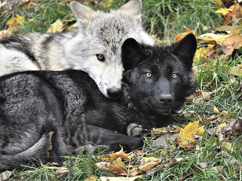 Wolf siblings