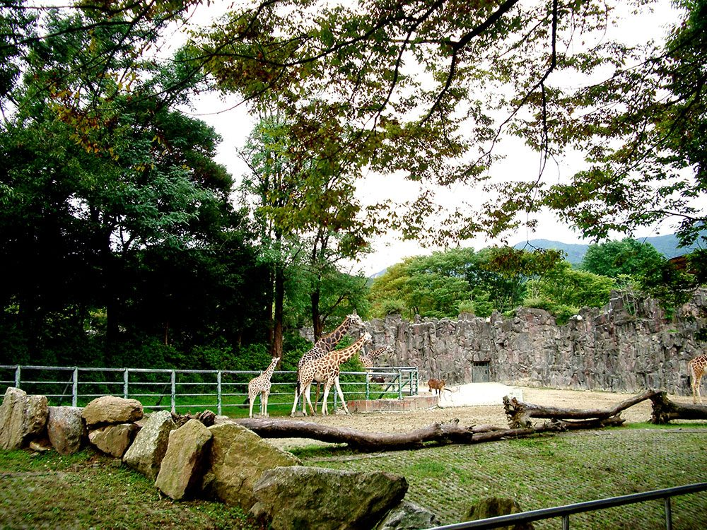 Giraffes at Seoul Children's Grand Park zoo