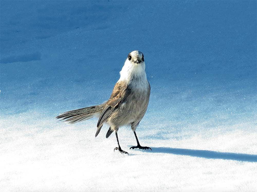 Grey jay bird