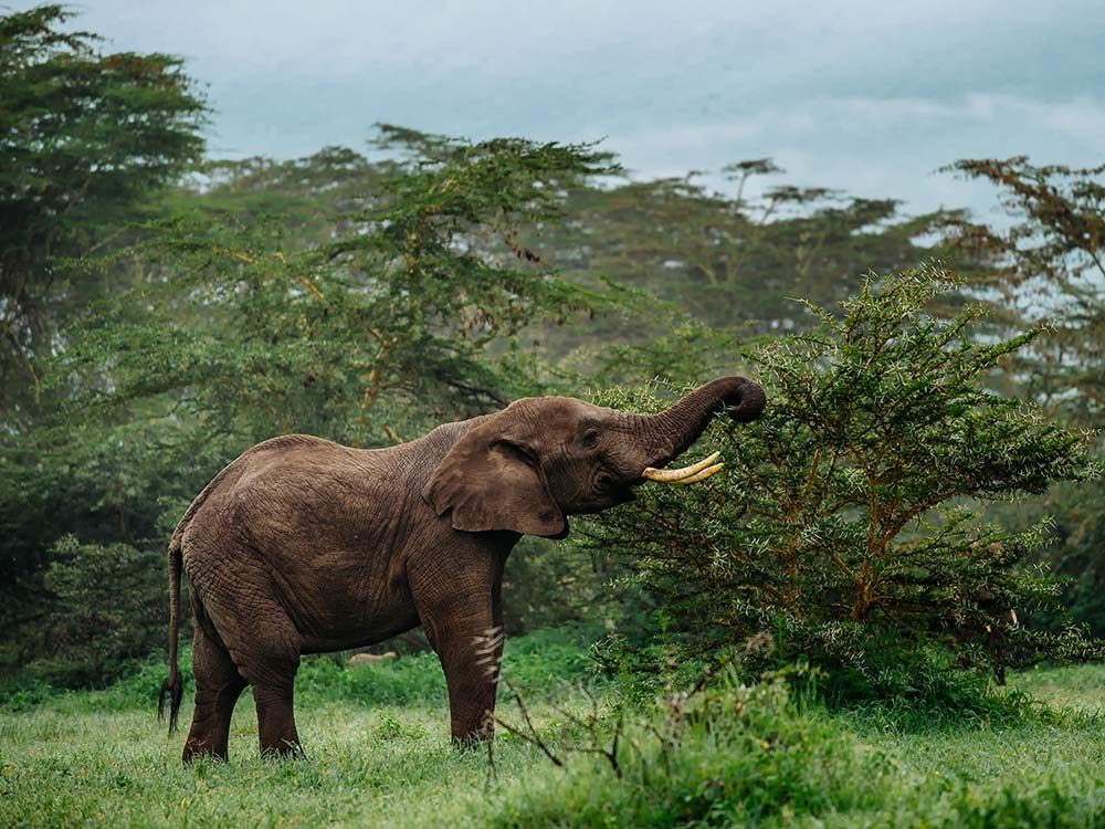 Asian elephant in forest