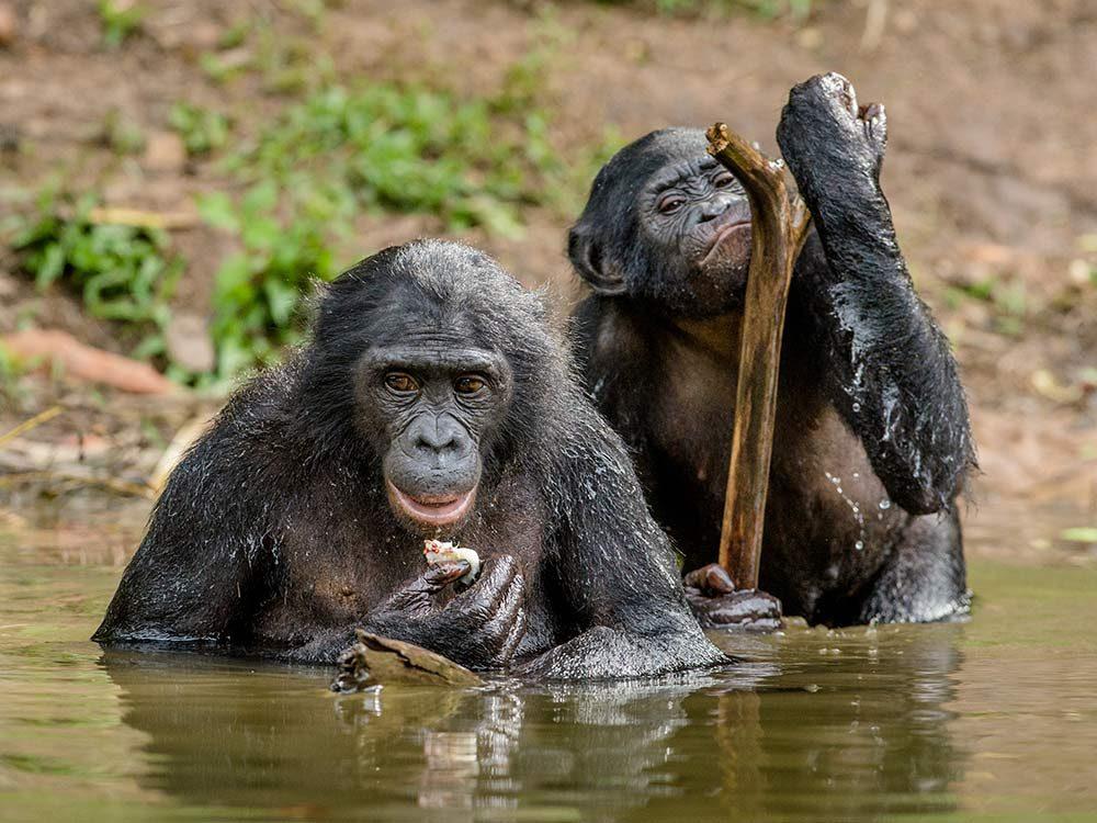 Bonobo in the water