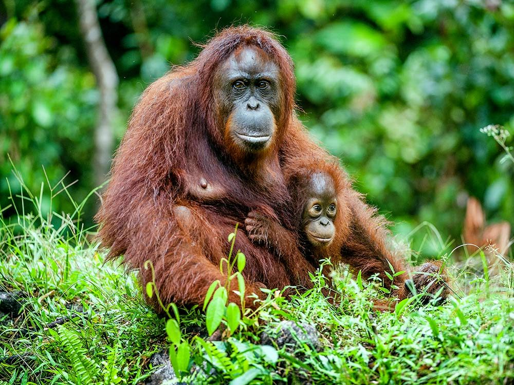 Orangutans are one of the top endangered animal species