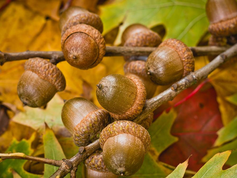 Acorns on oak tree