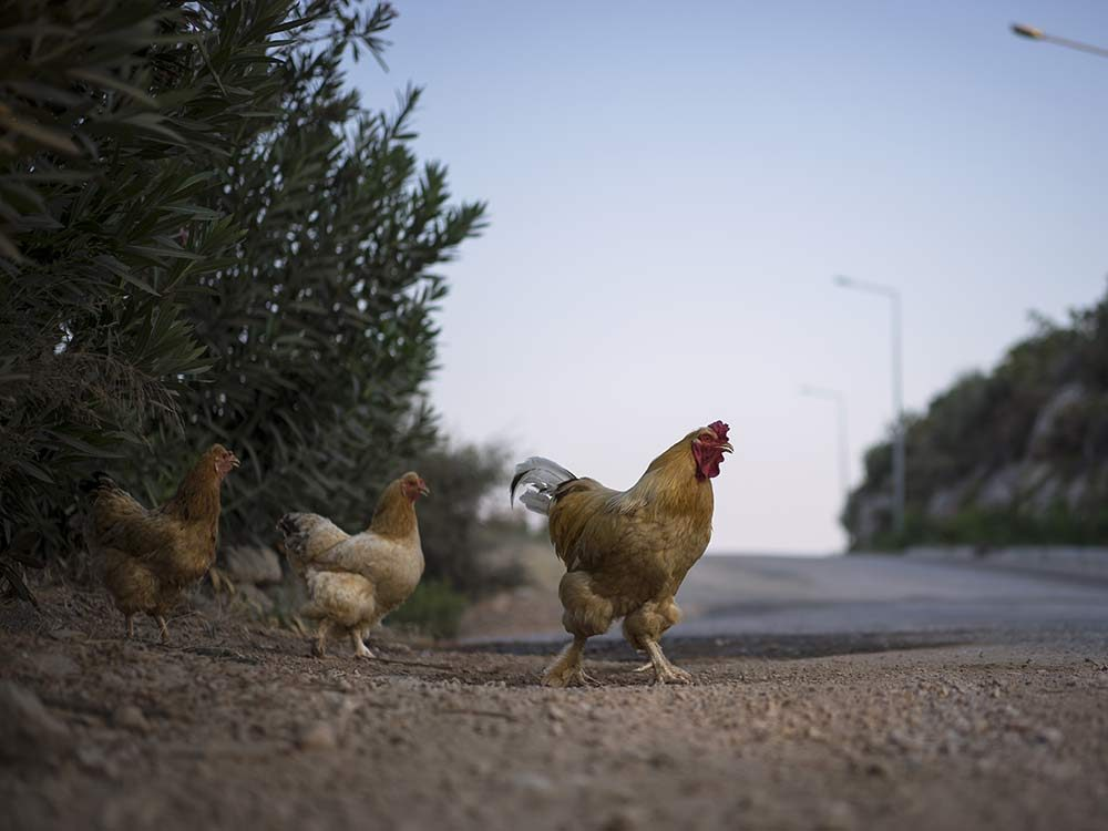 Chickens crossing the road
