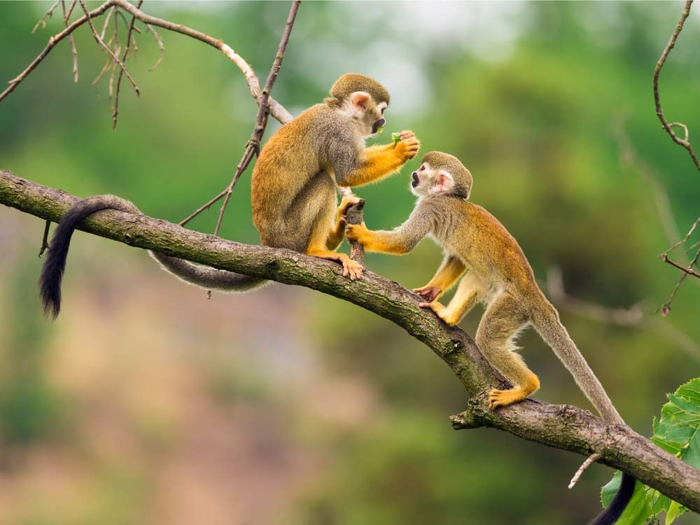 A pair of squirrel monkeys
