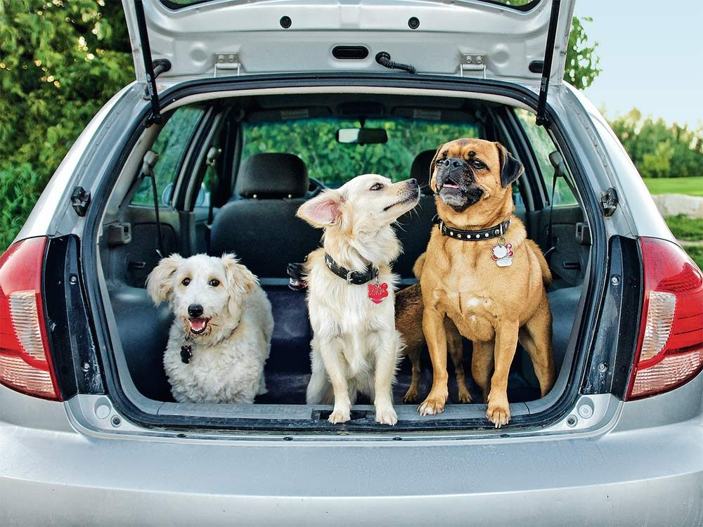 Three dogs in the back of a car