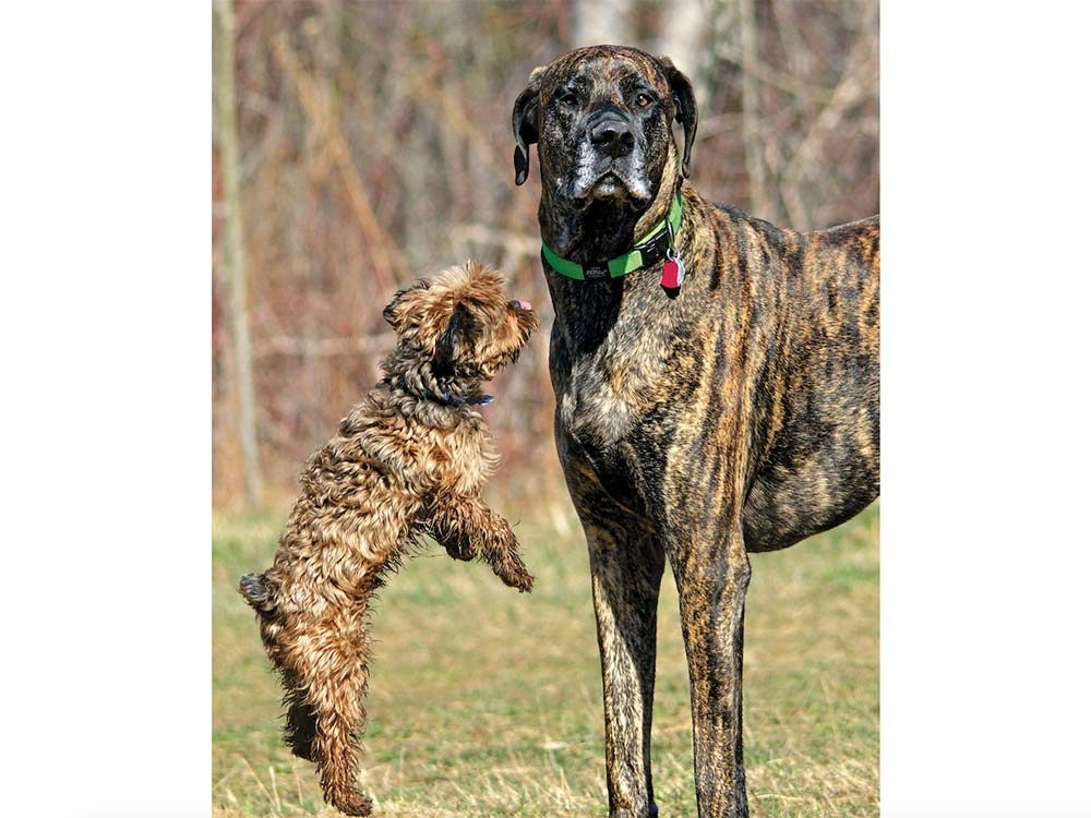 A big and small dog having fun at the Fergus Dog Park in Elora, Ontario