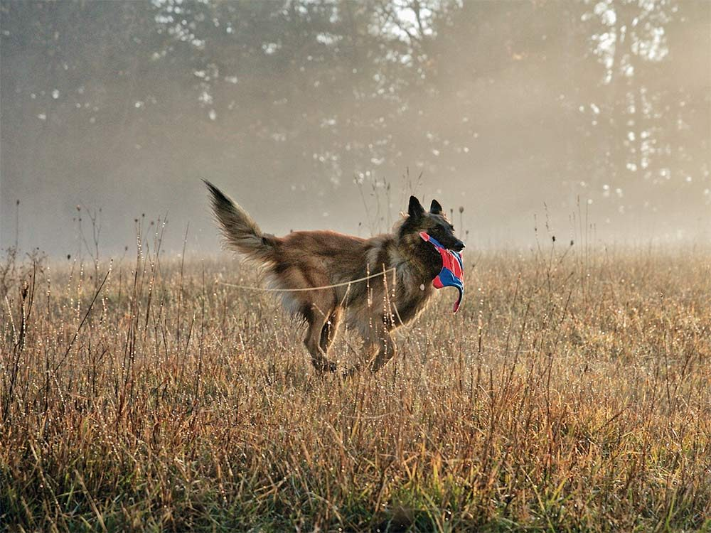 Dog playing fetch while running across a field
