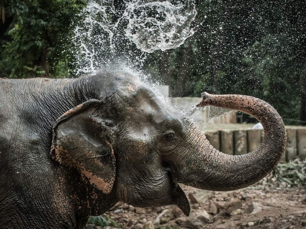 Elephant bathing in zoo