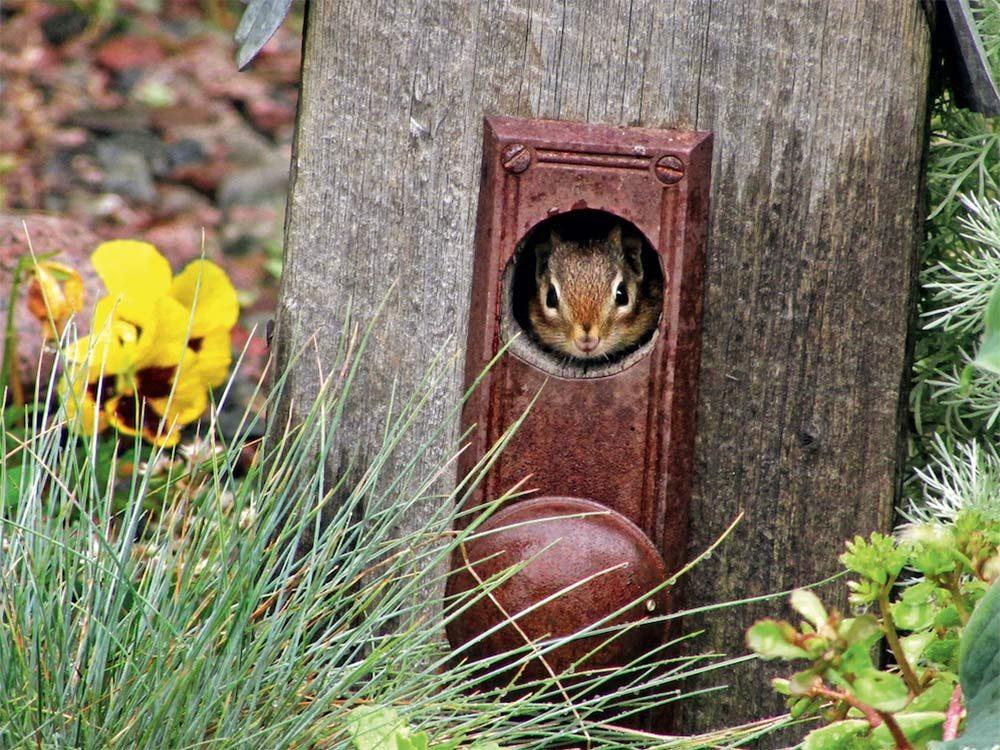 Chipmunk in birdhouse