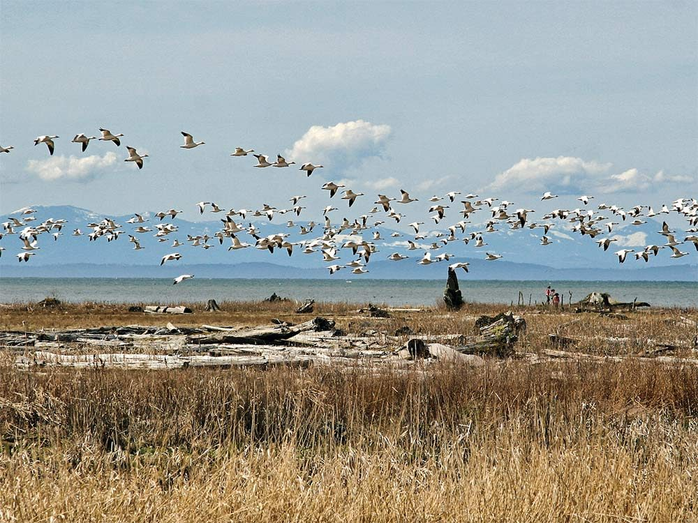 Snow geese in Richmond, British Columbia