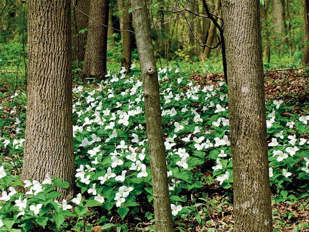 Trillium flowers in Lowville Park