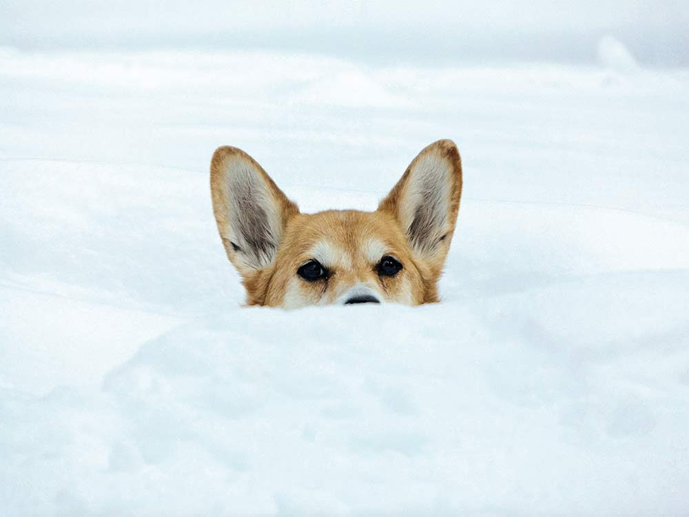 Welsh Corgi playing in the snow