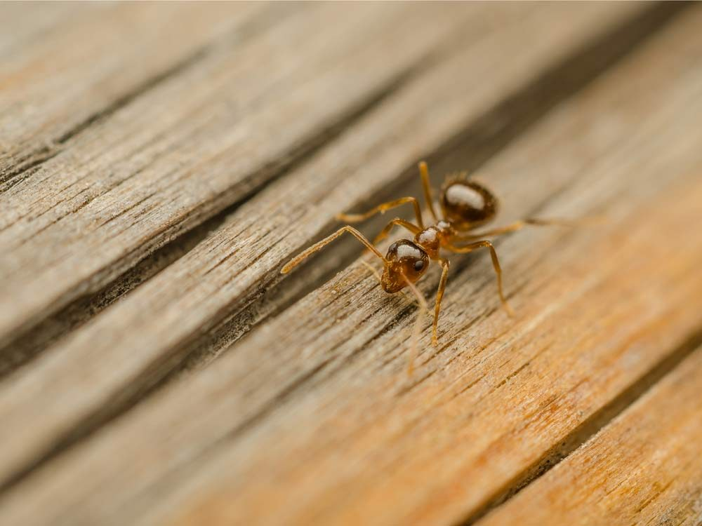 Worker ant on wooden porch