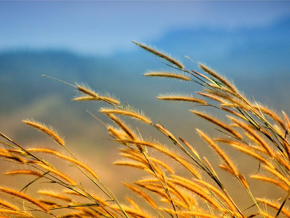 Grass in the morning wind