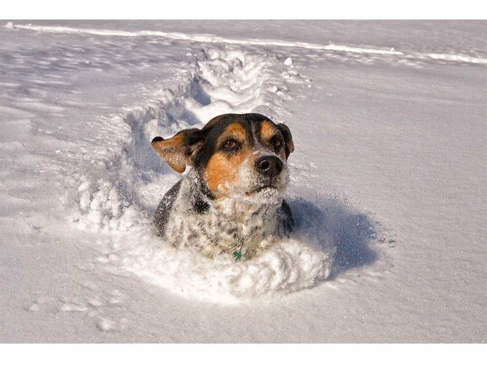 Beagle mix dog running through snow