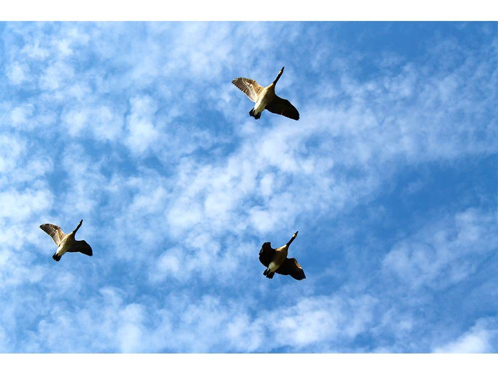 Canadian geese on the move