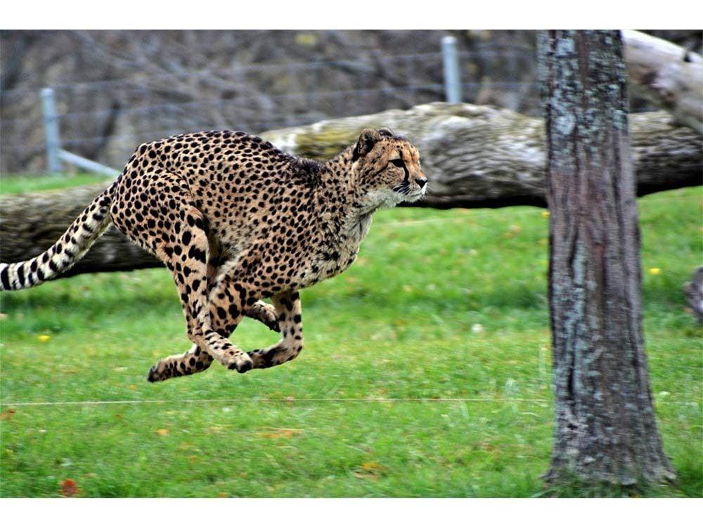 Cheetah on the move at the Toronto Zoo