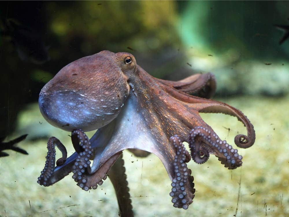Grey octopus in ocean