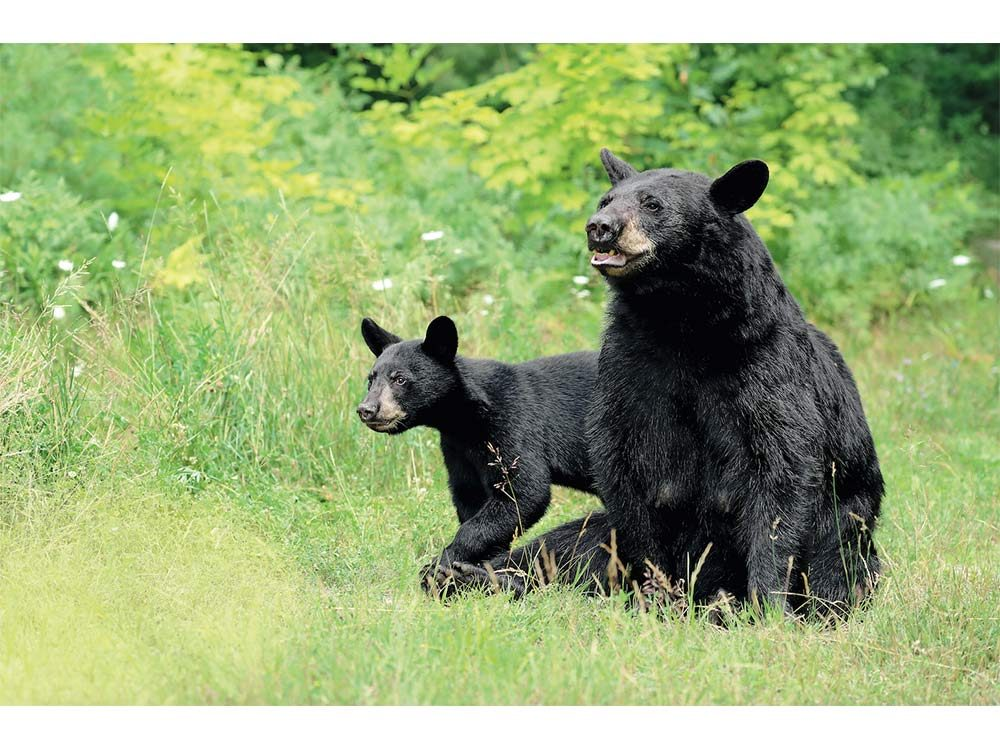 Mother bear and cub in forest