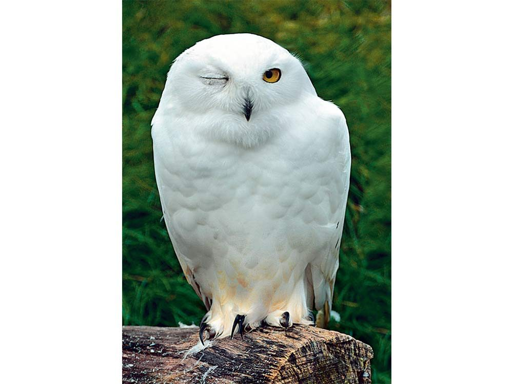 White owl at Toronto Zoo