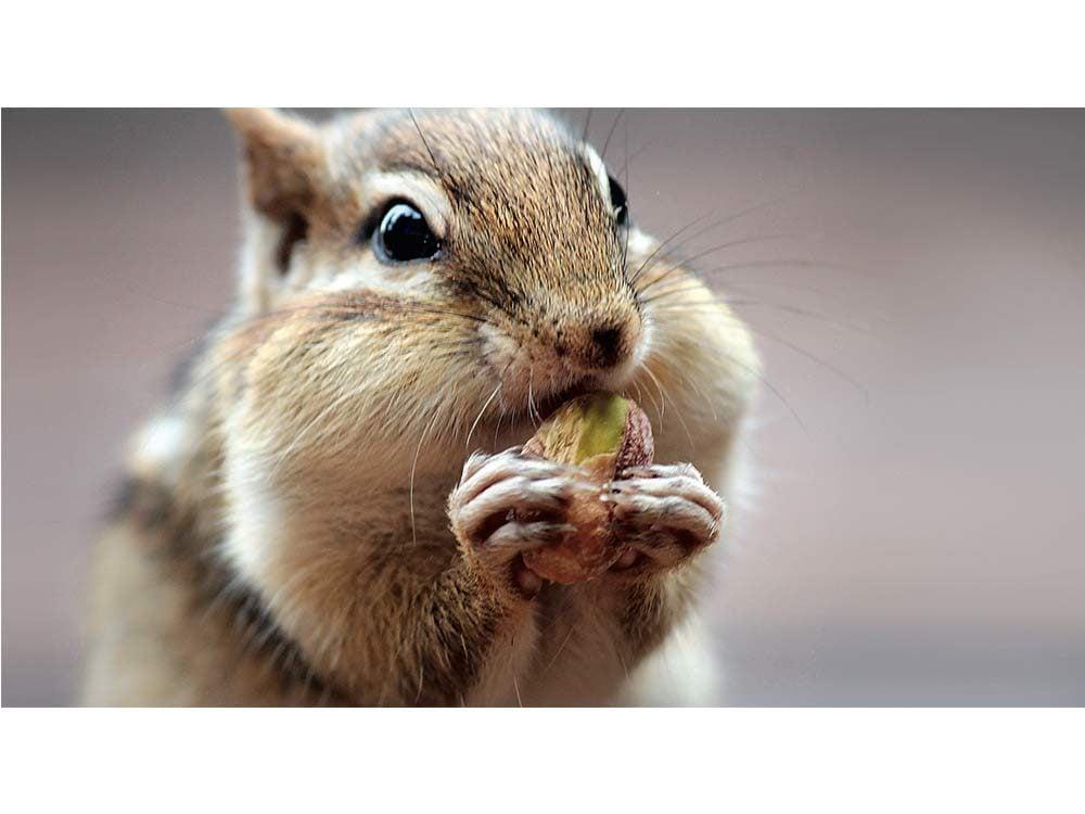 Chipmunk eating nuts