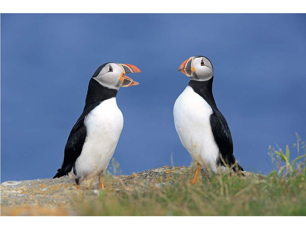 Atlantic puffins in Newfoundland