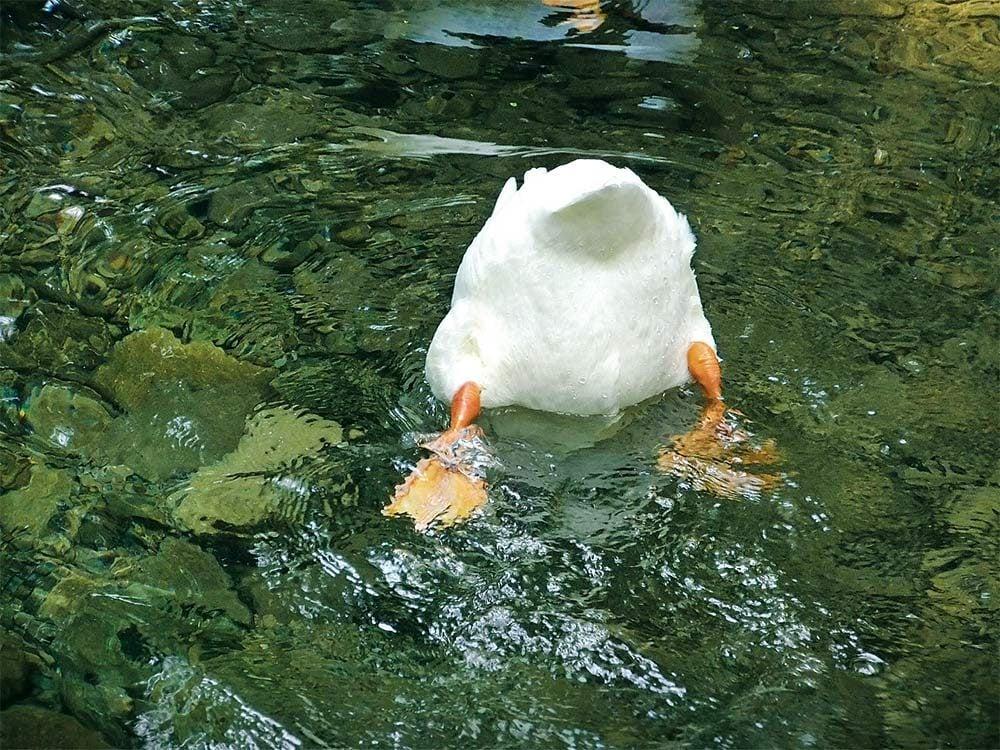 Duck in Owen Sound, Ont.