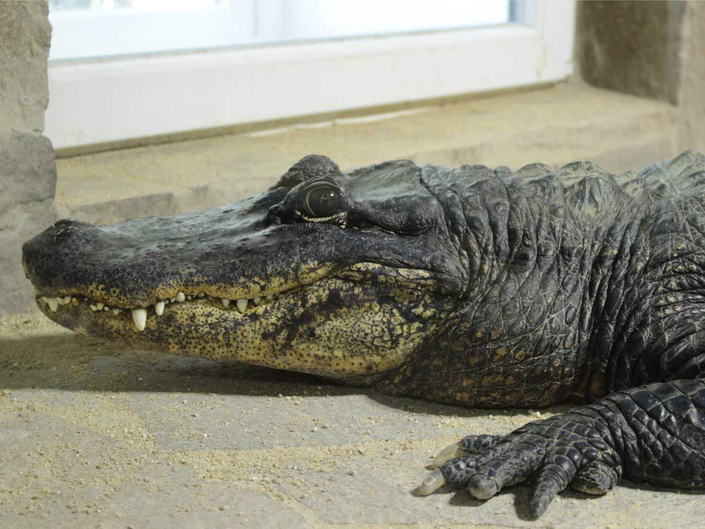 Alligator in terrarium