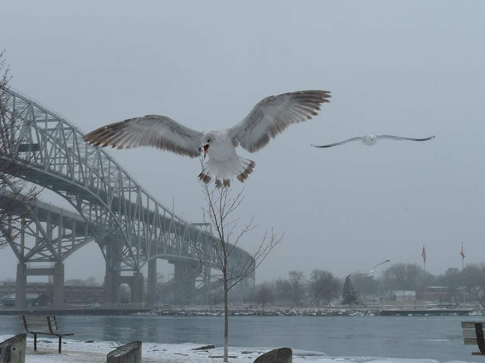 Gull photobombs bridge picture