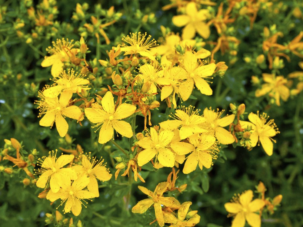 St. John's Wort is a medicinal herb you can grow