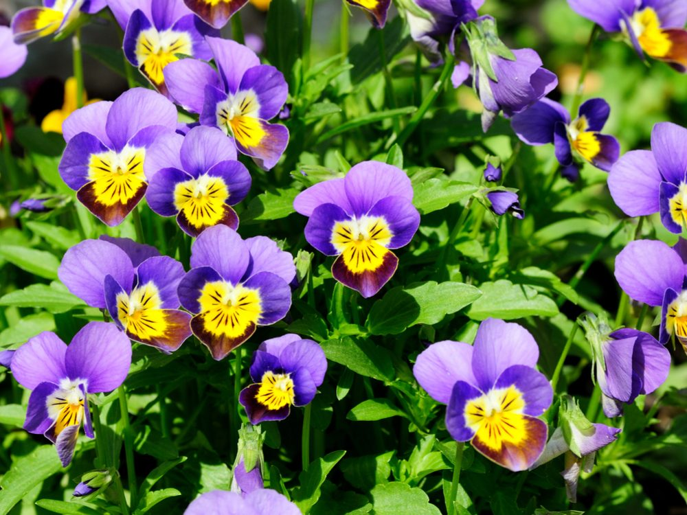 Johnny-jump-up is a medicinal herb you can grow