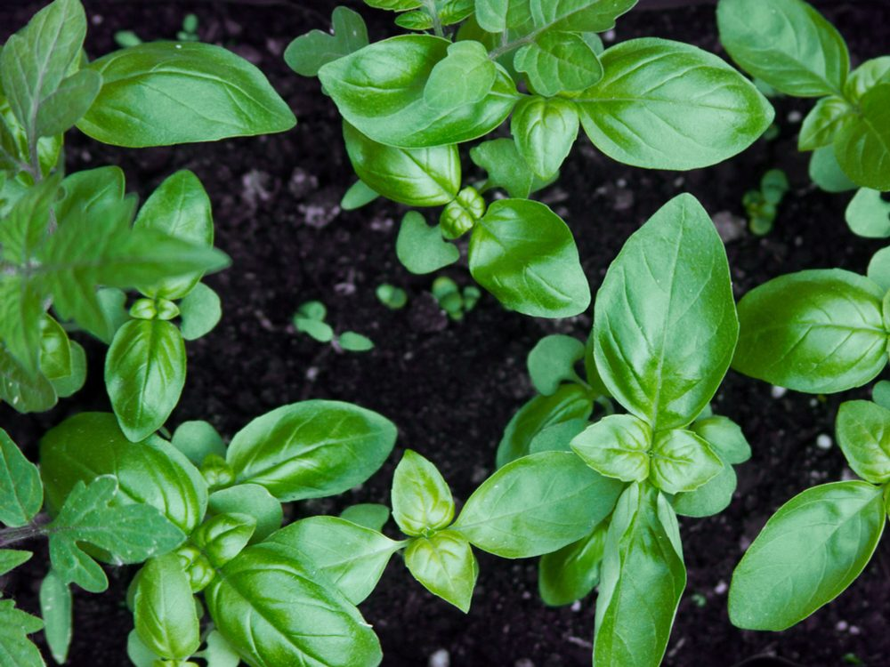 Basil is a medicinal herb you can grow