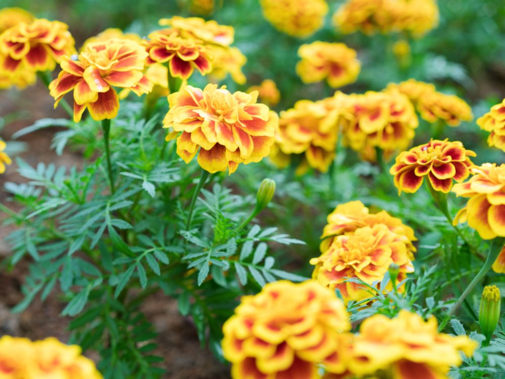 Marigold is a medicinal herb you can grow