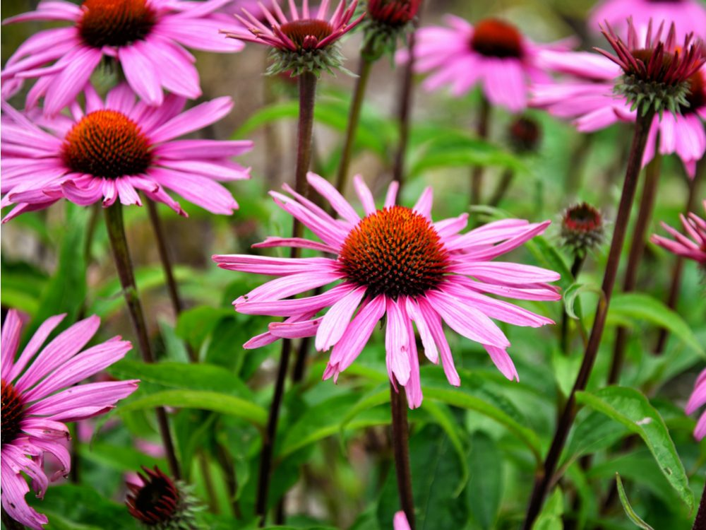 Echinacea is a medicinal herb you can grow