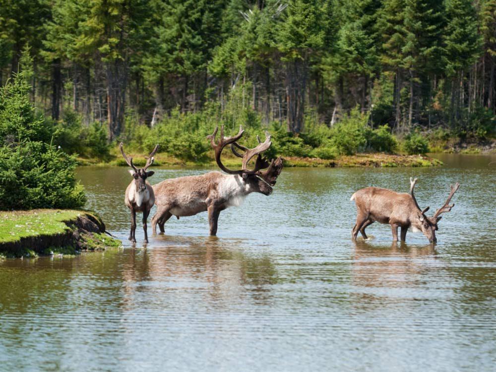 Caribou in river