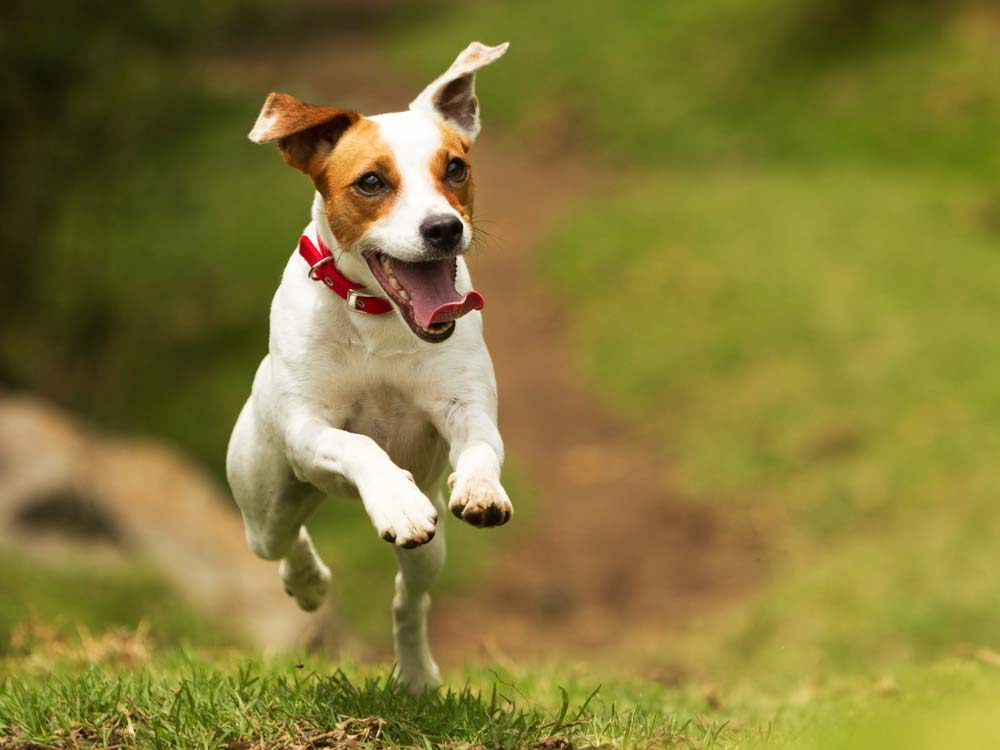 Terrier dog running