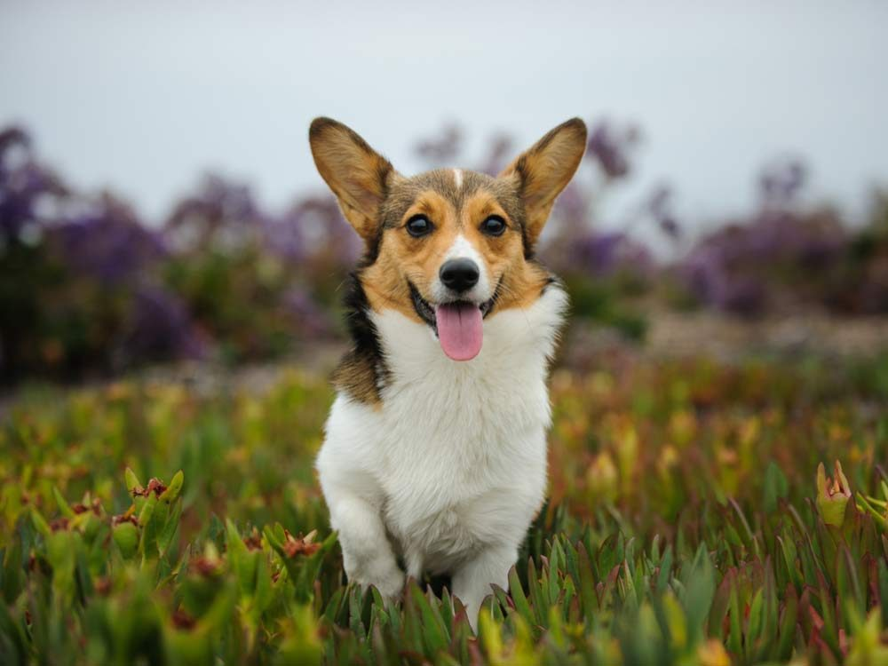 Queen Elizabeth has owned many corgis