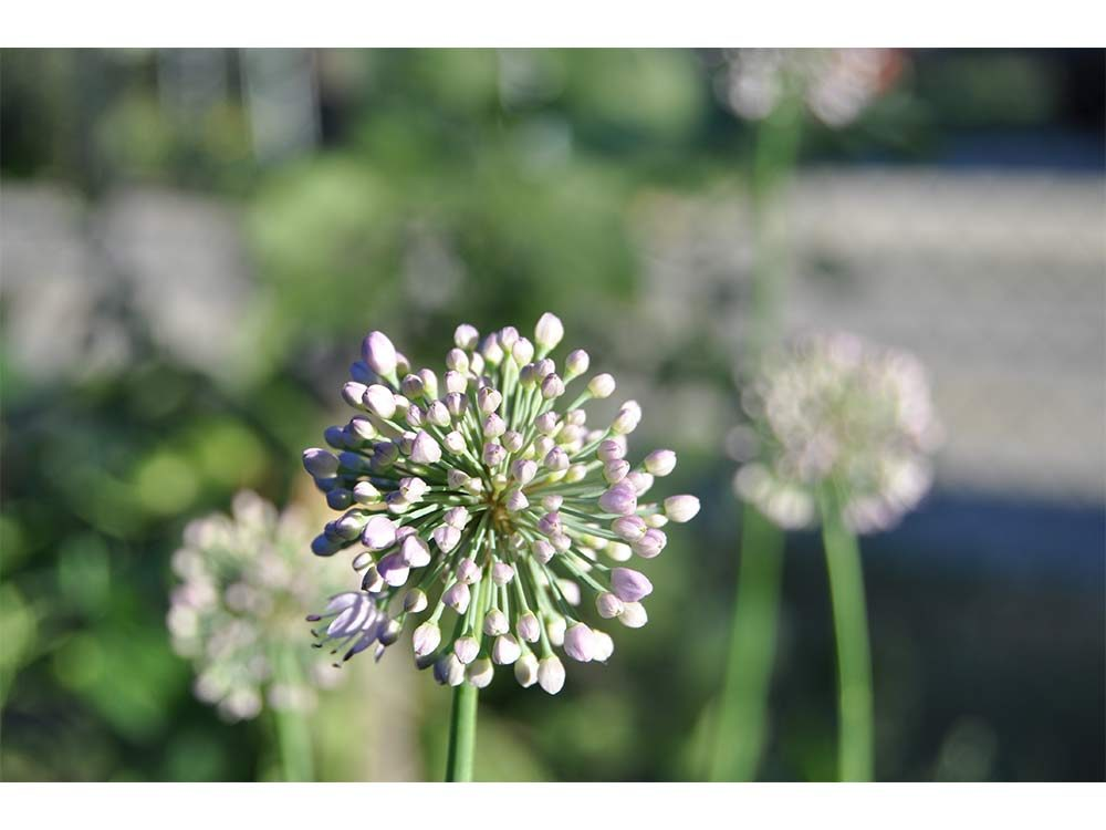 Alium plant ready to bloom