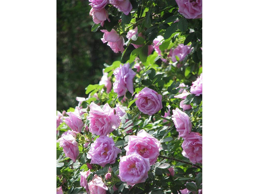 Roses in bloom on Canada