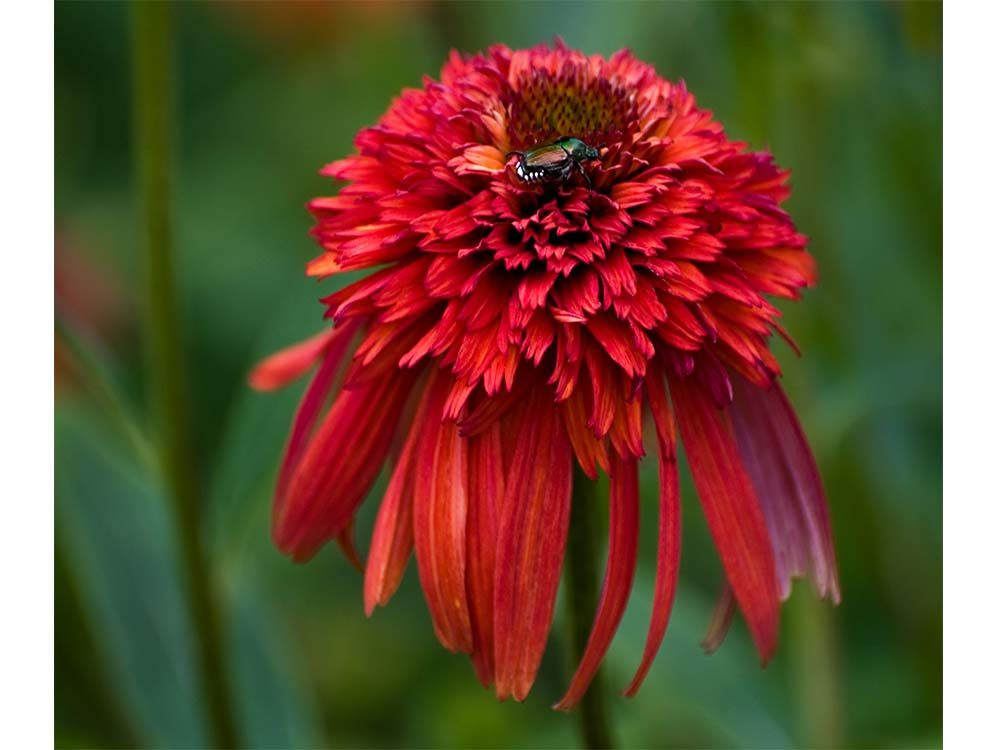 Red conflower