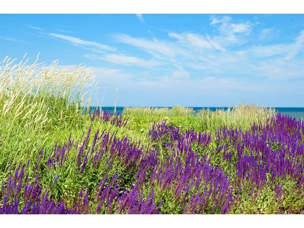 Wildflowers in Prince Edward Island