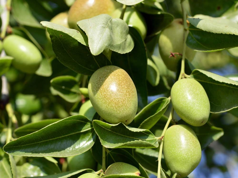 Jojoba fruit on tree