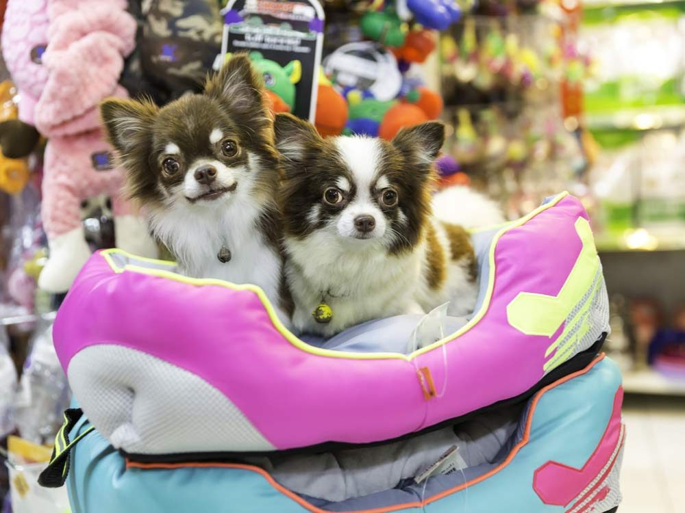 Chihuahua in pet store