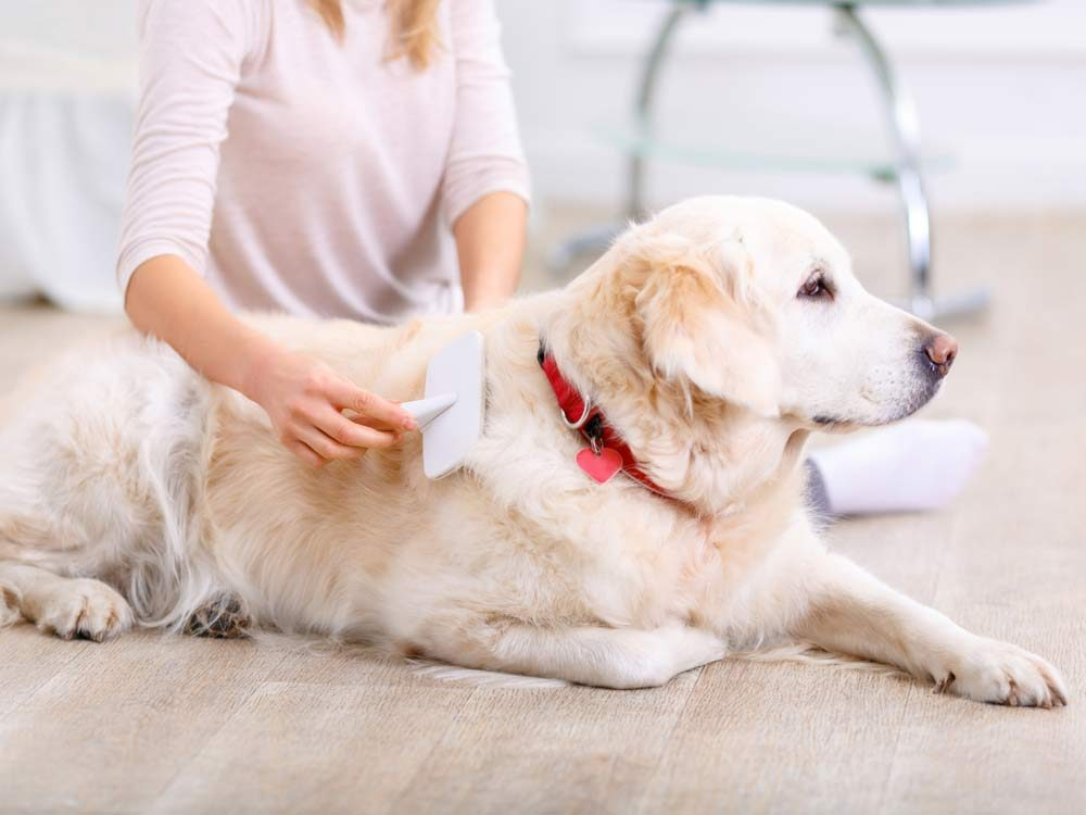 Owner brushing white dog's fur