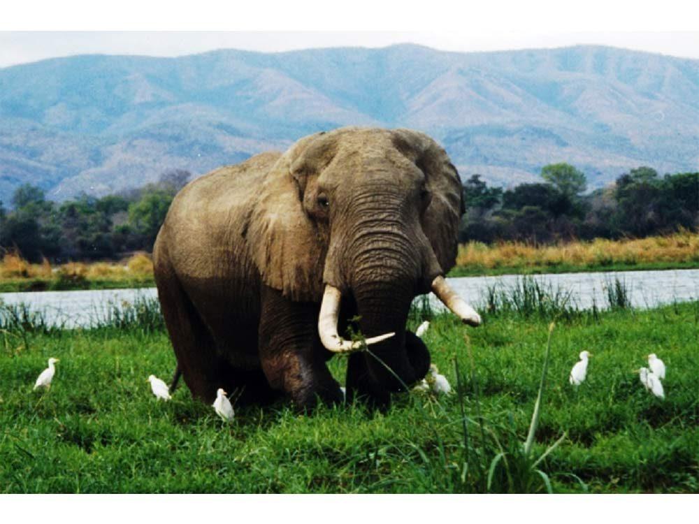 Elephant in the African Zembezi