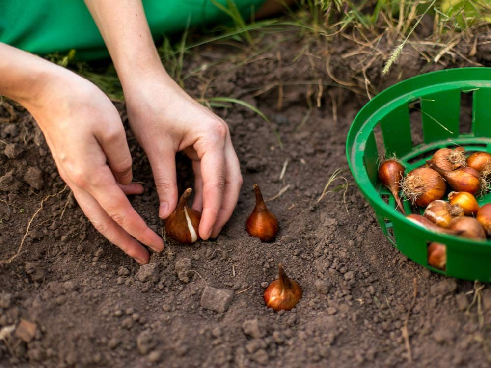 Planting bulbs in the garden