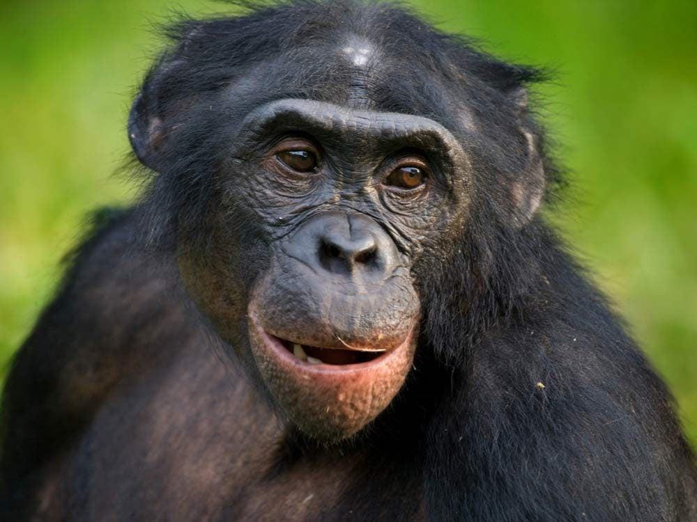 Bonobo monkey in the Congo